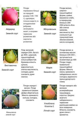 Продам саженцы : яблонь,  груш и винограда