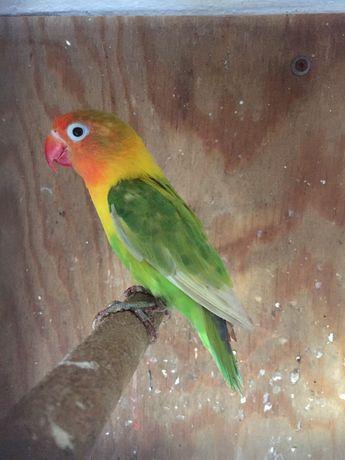 Papuga nierozłączka czerwonoczelna