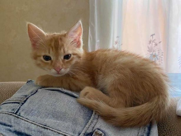 отлам котенка, мальчик, девочка, рыжий котенок, отдам 2,5 месяца