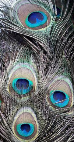 Pawie pióra oczka