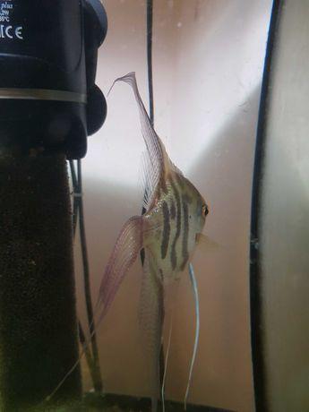 Oddam rybki za darmo