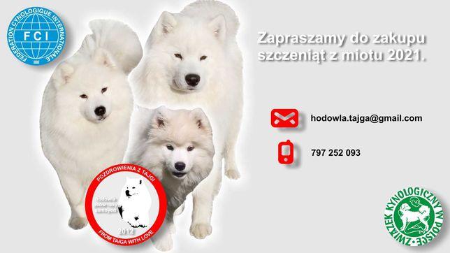 Samoyed - szczenięta FCI, ZKwP O/Rzeszów, dostępne 2 pieski