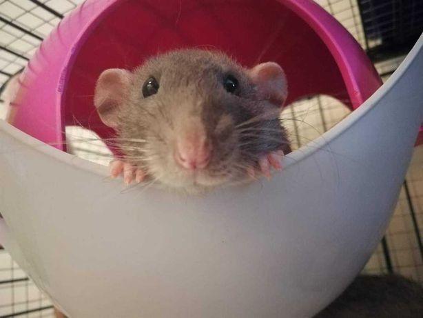 Szczurki z domowej hodowli
