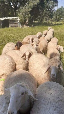 Ovelhas lacoune / assaf
