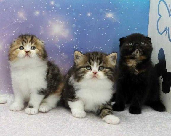 В продаже вислоухие и прямоухие шотландские котята