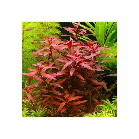 Ludwigia repens rubin (planta aquário)