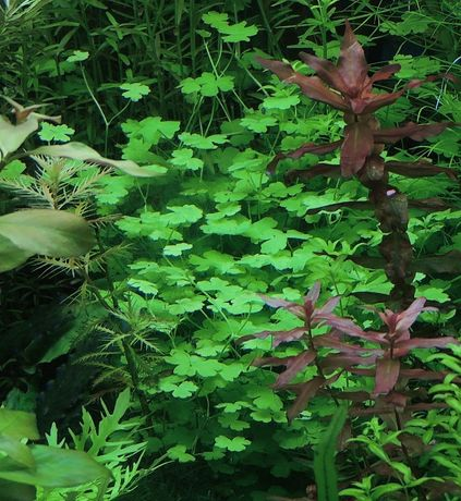 Hydrocortyle sp. Japan