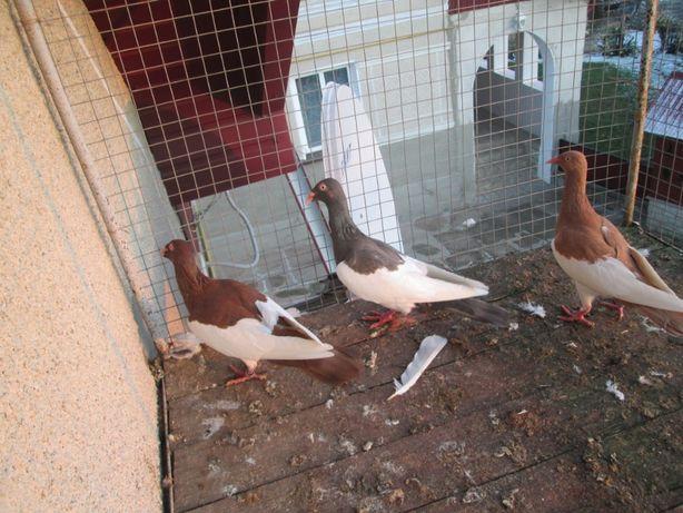 Продам голуби кракуси 2020 рік