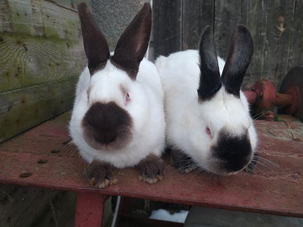 Królik króliki kalifornijskie czarne samce samice rodowód