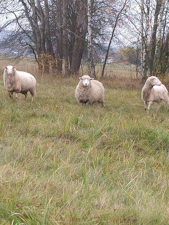 Sprzedam owce i baranki fryzyjskie i lacunee młodziutkie tegoroczne .