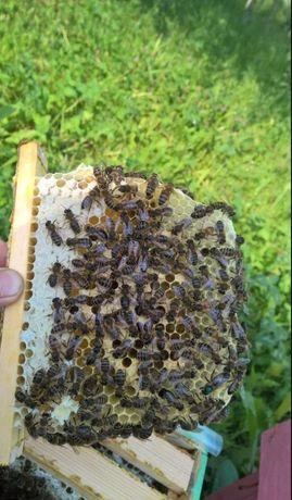 Австрия Carnika Карника От Матки F0 Г.Маха Пчелиная матка матки