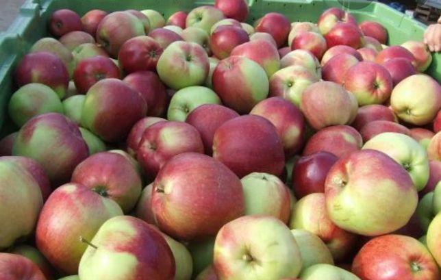 Jabłka ligol i golden