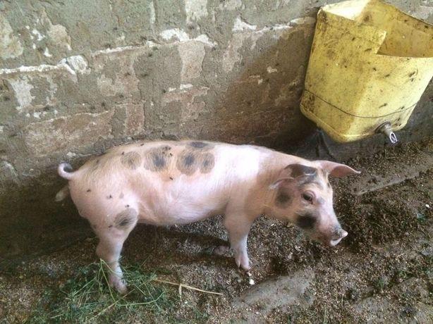 Продам поросята свині