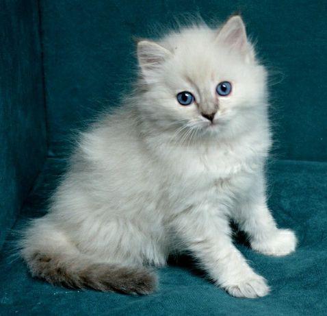 PRZEPIĘKNA kotka Ragdoll w typie SHOW po GRAND International Champion