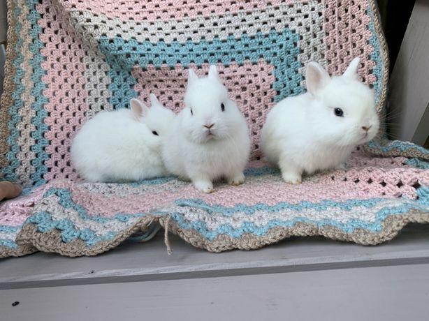 Króliki karzełki hermelin niebieskooki, miniaturki