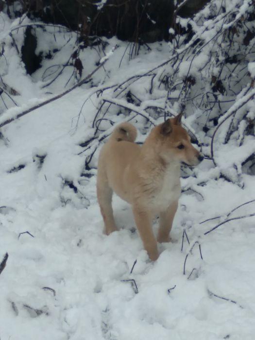 Продам щенка ЗСЛ Малин - изображение 1