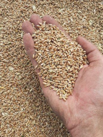 Продам пшеницю до 2 тонн