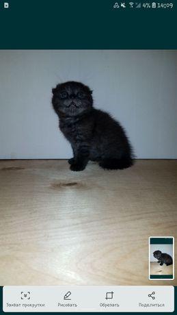 Прекрасный шотландский котёнок(дымок)
