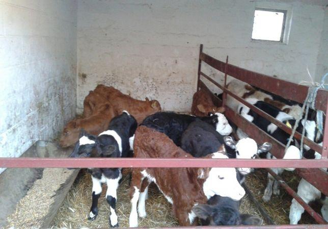 Cielaki byczki mięsne mieszance 4-5 tygodni