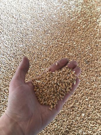 Продам пшеницю, зерно, пшеница, корм, пшениця на корма.