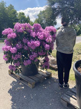 Rododendron wysoki na 1,40 metra