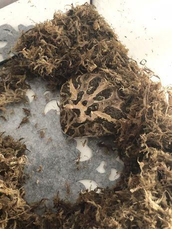 Samica żaby rogatej ceratophrys cranwelli