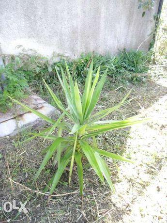 Fiteira planta de jardim