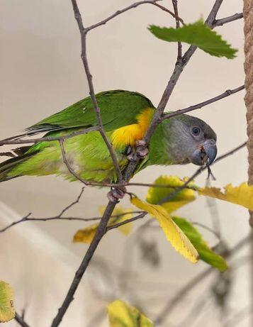 Сенегальский попугай девочка птенец