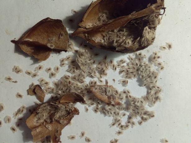 Медоносы павловния,софора японская, гледичия,катальпа семена.