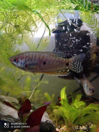 Dwie dwa dwoje gurami dwuplamiste rybki akwarium