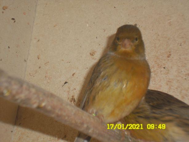 kanarki samice 2020 zielone