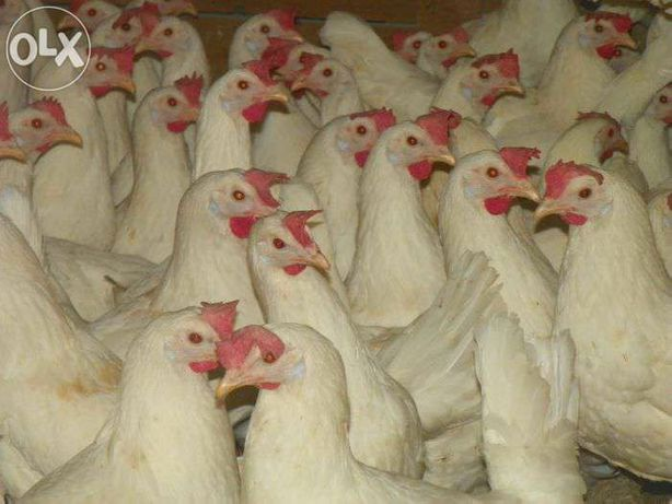 Kury Leghorn z jajkiem 24 tygodnie  WYSYŁKA