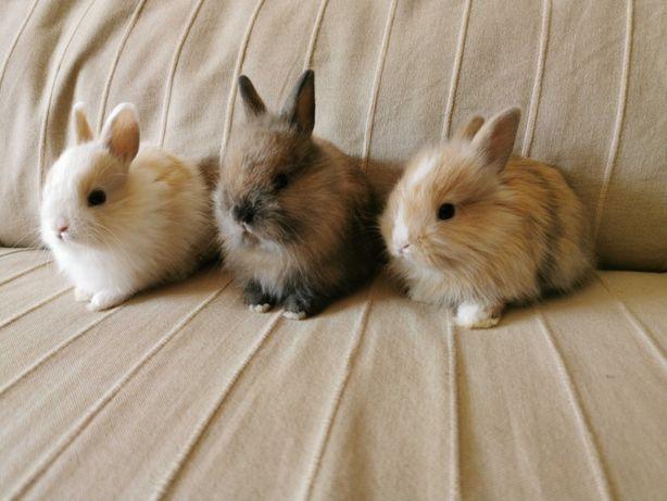 KIT completo coelhos anões teddy e mini holandês muito dóceis