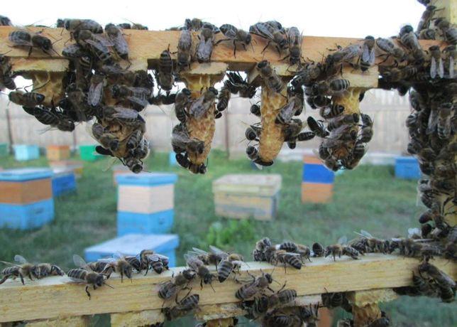 Матки Наличие. Порода Карника Порода пчел. Порода, которой доверяют.