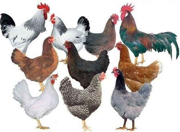 Бройлер Доминант цыплята куры Ломан Браун курочки несушки