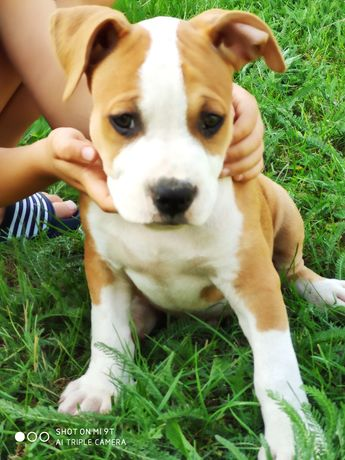 Zkwp/FCI Amstaff,american staffordshire terrier