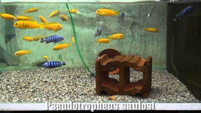 Pyszczak pseudotropheus saulosi -4cm. grudziadz