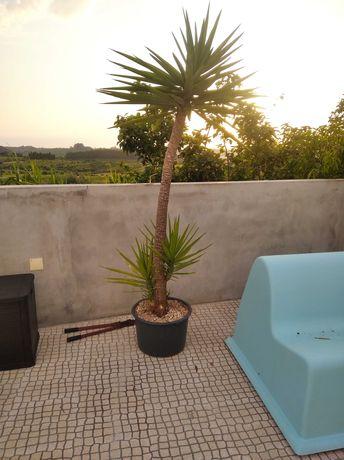 Planta yucca grande e pequeno