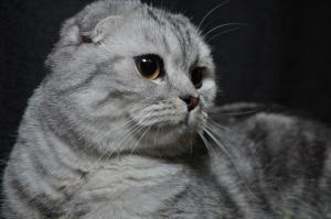 ВЯЗКА Шотландский Вислоухий кот Табби (скоттиш фолд)