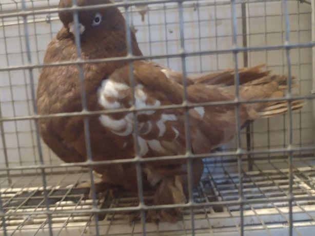 Gołębie angielski śeredniodzioby