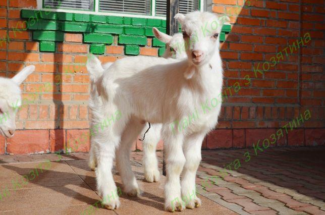 Кози заано- ламанча 2021р.