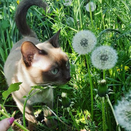 Бронирование тонкинских котят (тонкинезов)