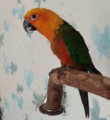 Аратинга яндая,калита монах попугаи