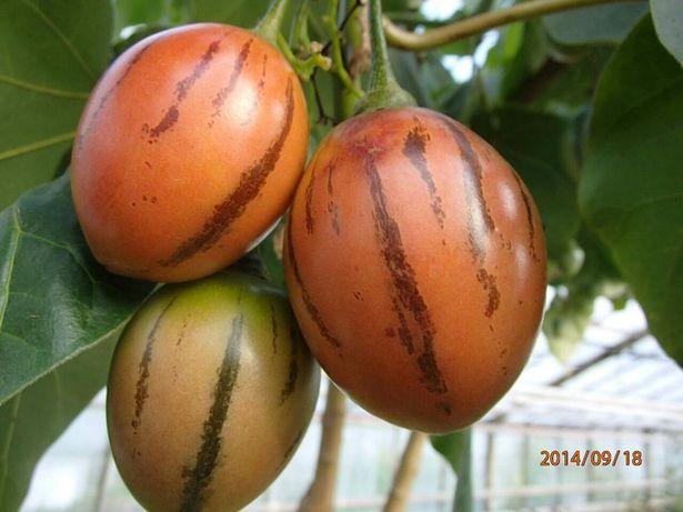Sadzonka pomidora drzewiastego -Tamarillo-w doniczce