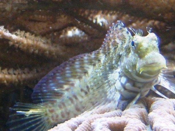 Akwarium morskie - Salarias fasciatus