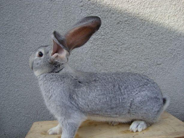 królik samiec belgijski olbrzym srebrny belg króliki