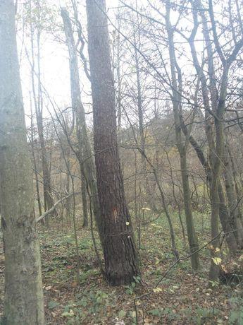 Drzewo Świerk na pniu