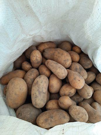Ziemniaki , kartofle ,Irga, Katania, wineta