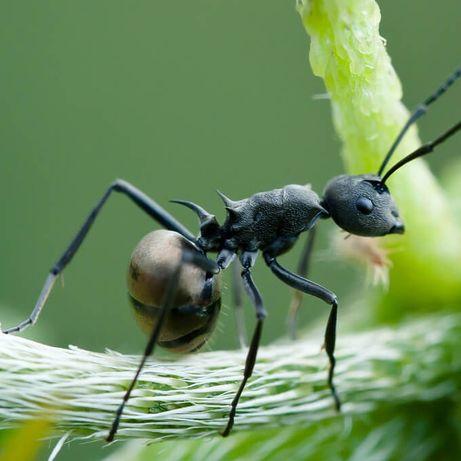 Mrówki polyrachis dives Q + 5-15W