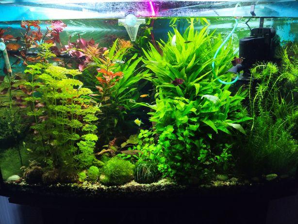 Продам Аквариумные растения. Вабикусу (горшки) рыбки нимфея криптокари
